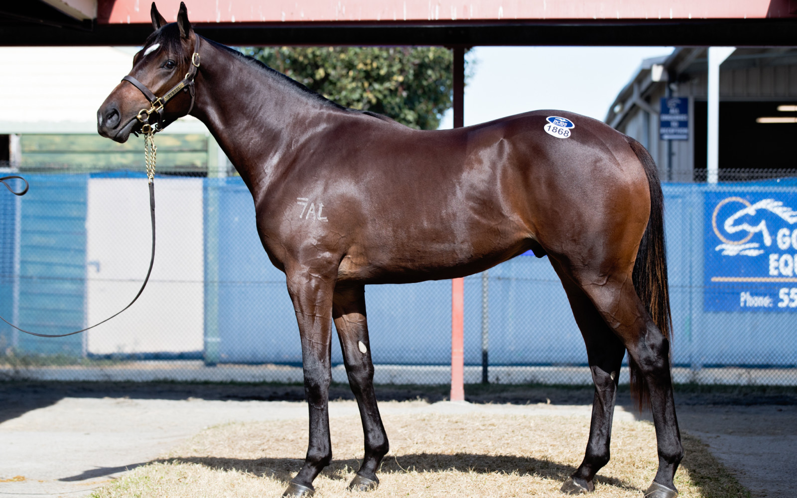 GOLD COAST YEARLING SALE – Lot 1868 So You Think/Spinnawitch brown Colt
