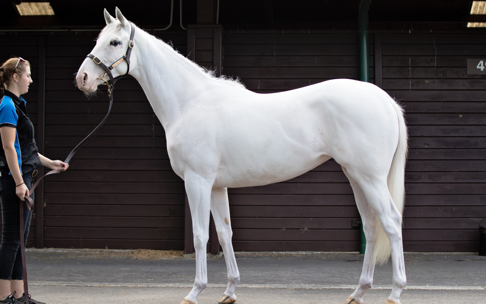*New* Karaka Ready To Run Sale – Lot 182 Reliable Man (GB) – Keenly white filly