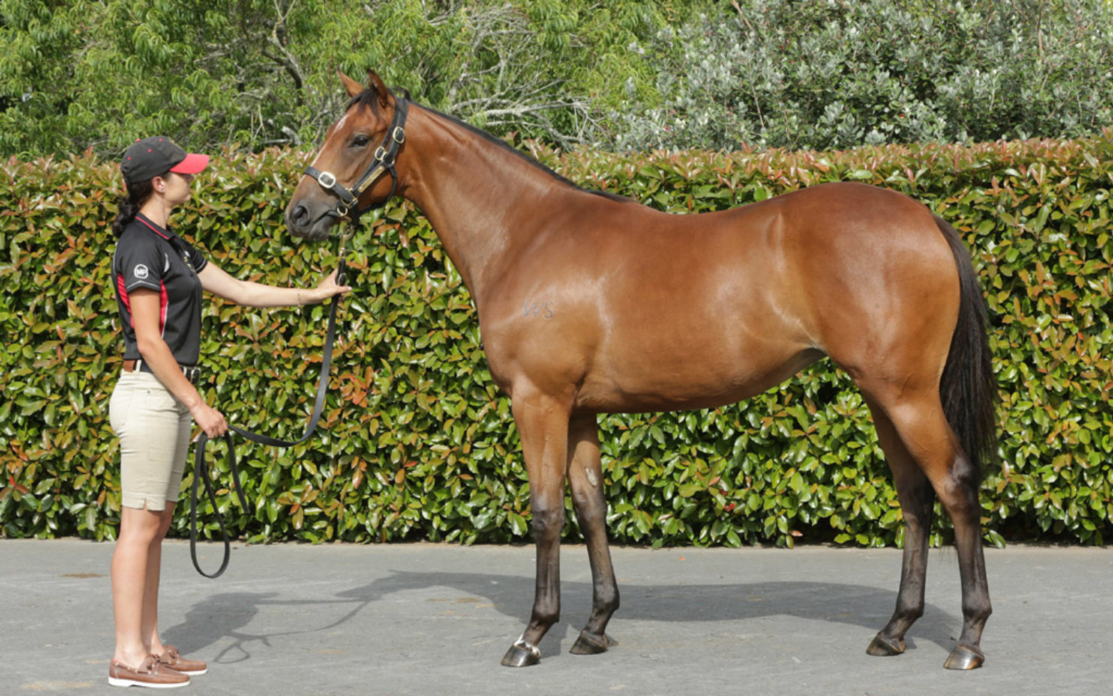 KARAKA 19 – Lot 598 Not a Single Doubt (AUS) – Bewitching, Bay Filly