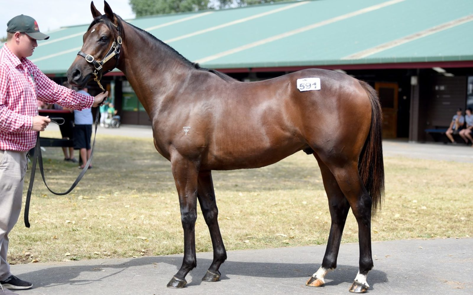 KARAKA 19 – Lot 591 Iffraaj (GB) – Bellazeel, Bay Colt