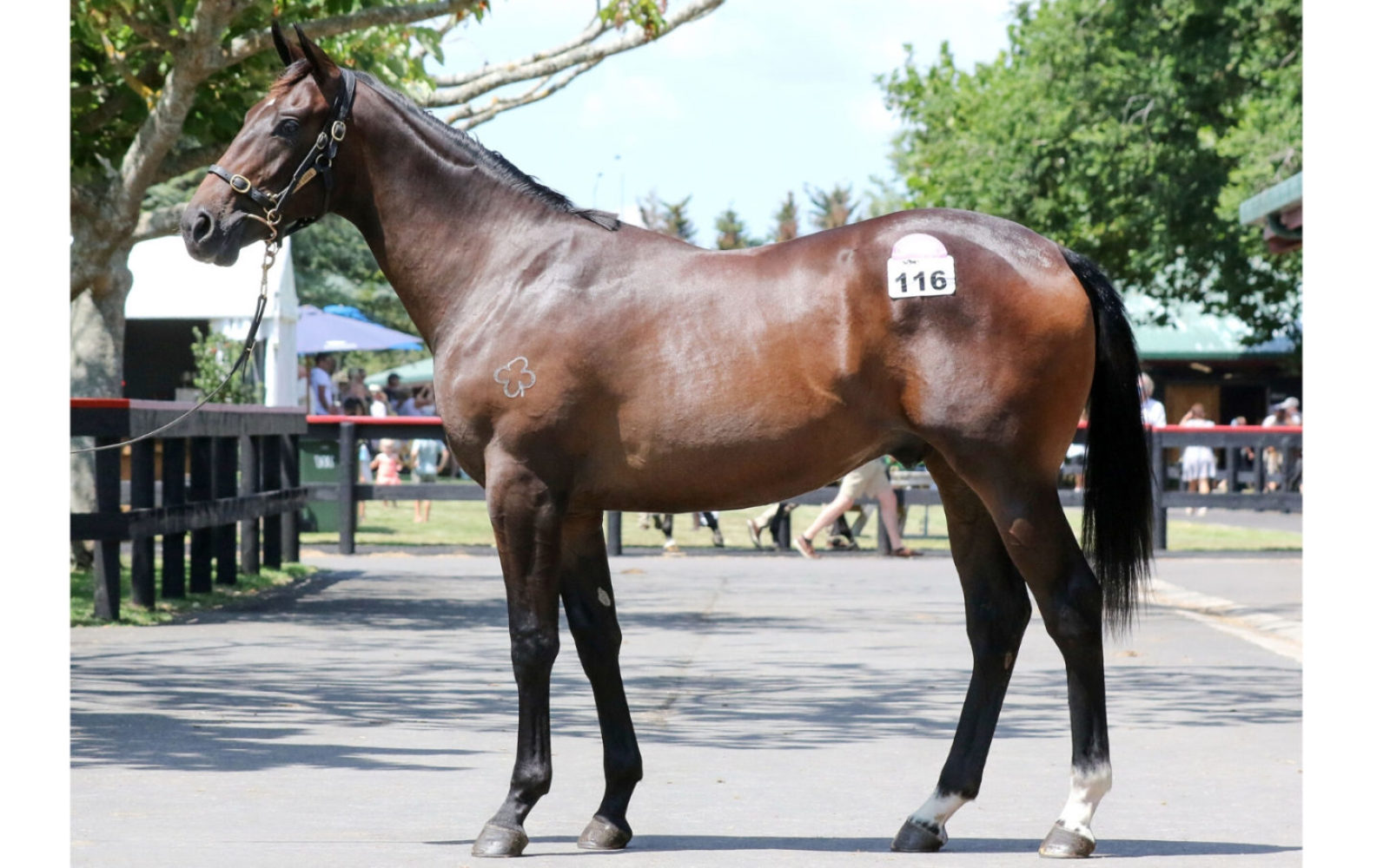 Karaka 2020 – Lot 116 Brazen Beau (AUS) – More Bubbles (AUS), Brown Colt