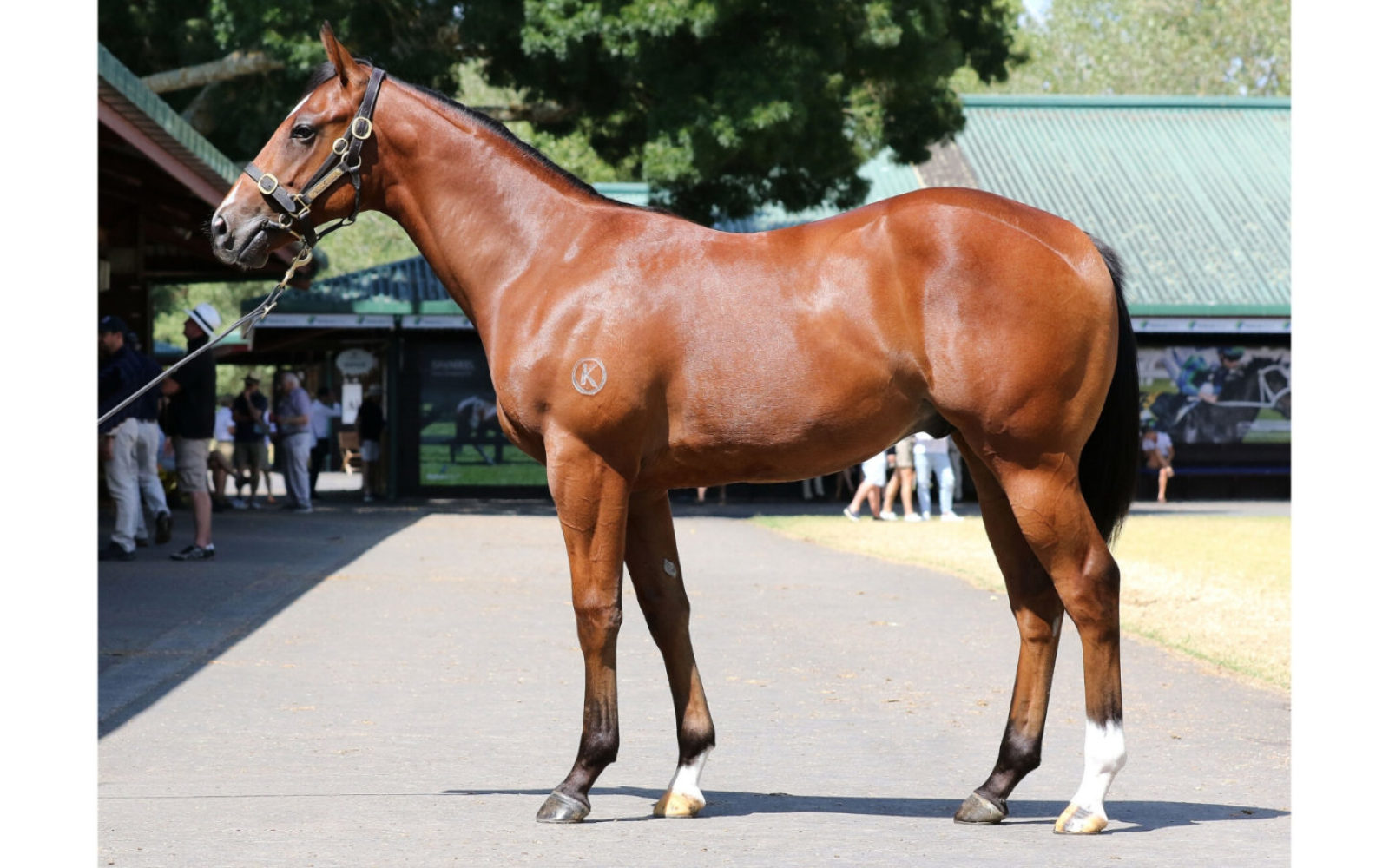 Karaka 2020 – Lot 101 Pierro (AUS) – Miss Judged, Bay Colt