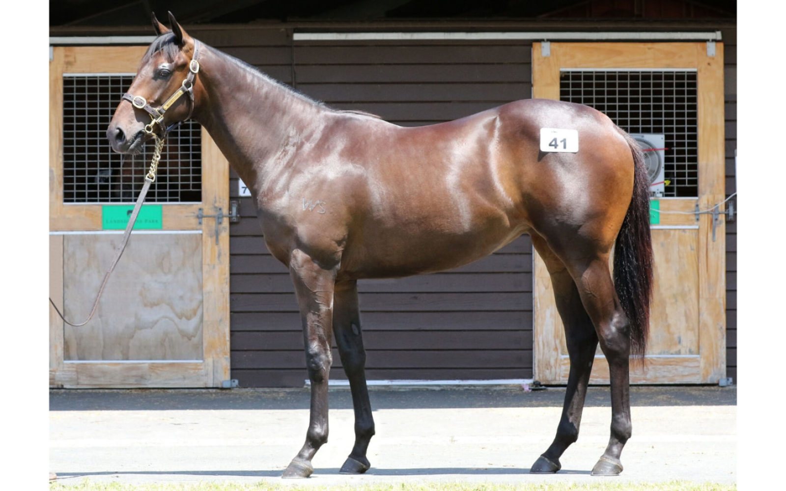 Karaka 2020 – Lot 41 Savabeel (AUS) – Lady Tatia (AUS), Brown Filly