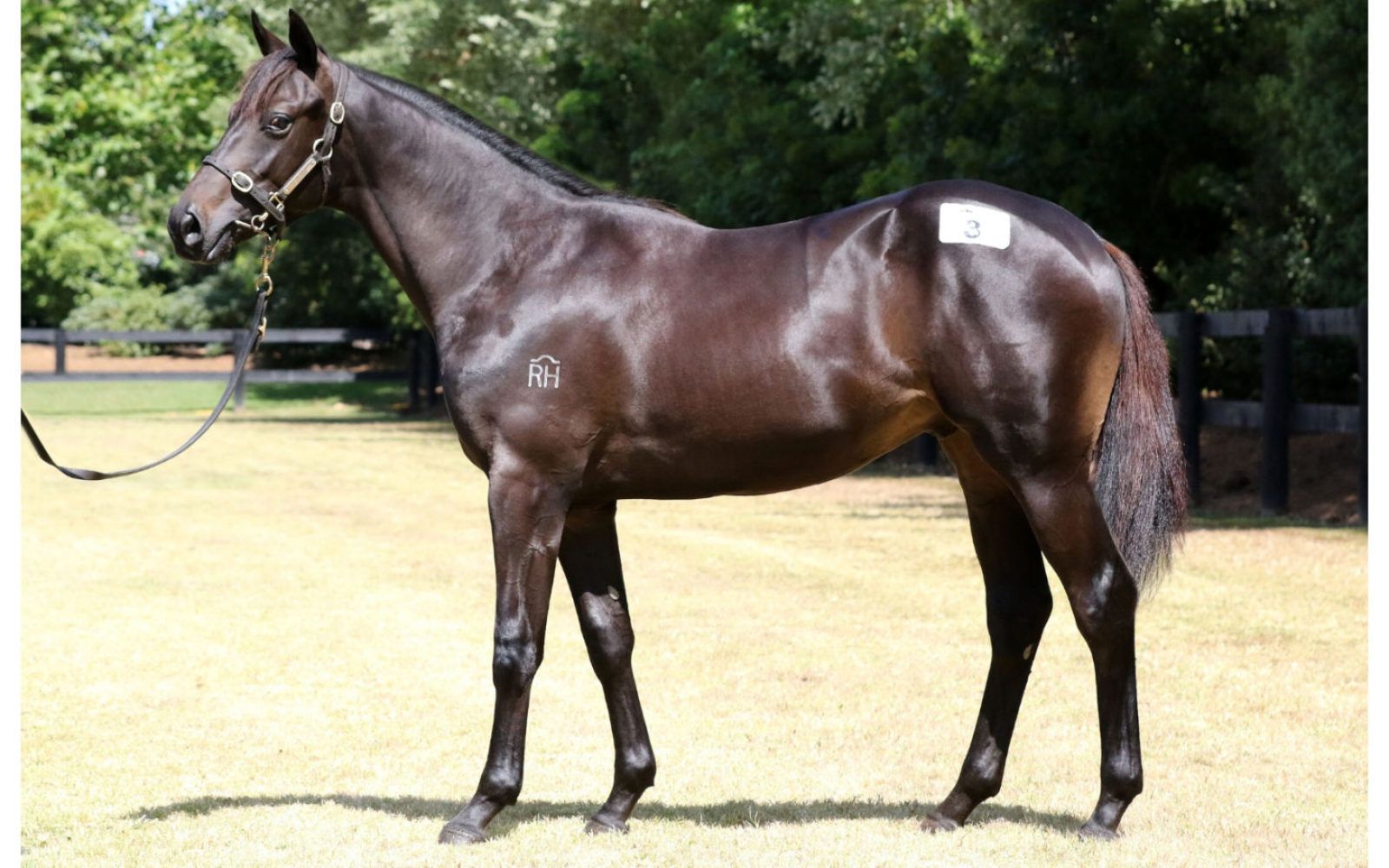 Karaka 2020 – Lot 8 Savabeel (AUS) – Kaleidoscope, Brown Colt
