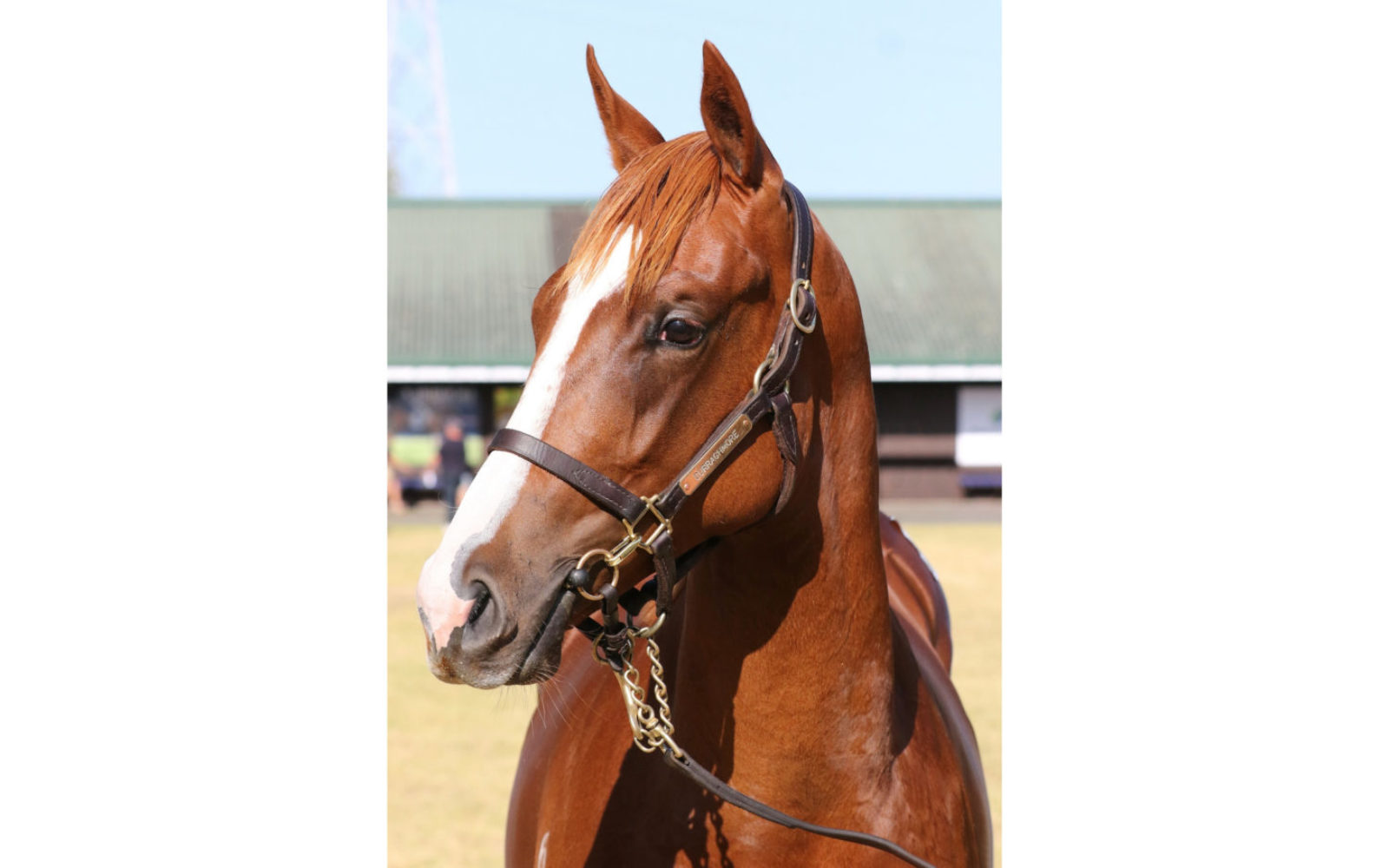 Karaka 2020 – Lot 209 Showcasing (GB) – Que Sera, Chestnut Filly