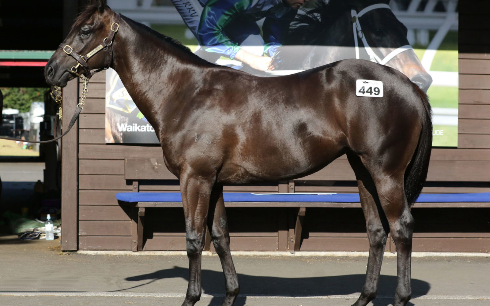 Karaka 2020 – Lot 449 Savabeel (AUS) – Baby Shacks Brown Filly