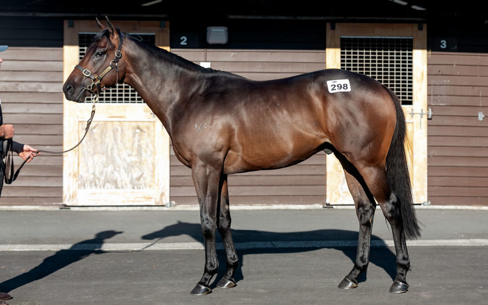 READY TO RUN – Lot 298 Savabeel (AUS) – Miss Opulence, Bay Colt