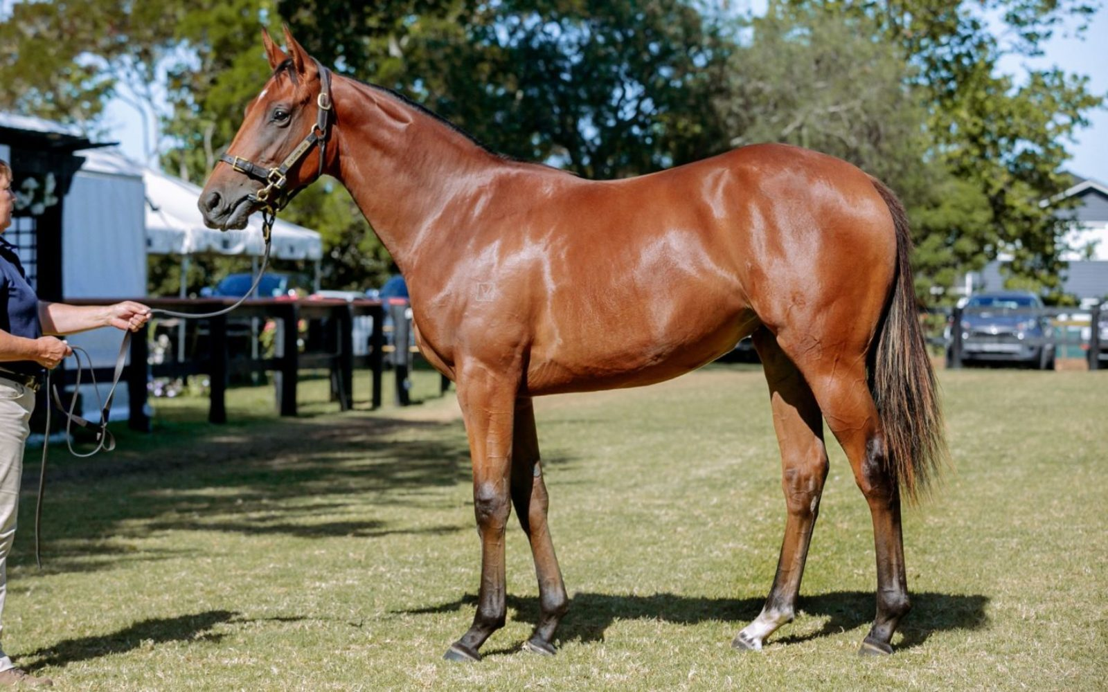 KARAKA – Lot 94 Zoustar (AUS) – Scintillula (IRE), Bay Filly