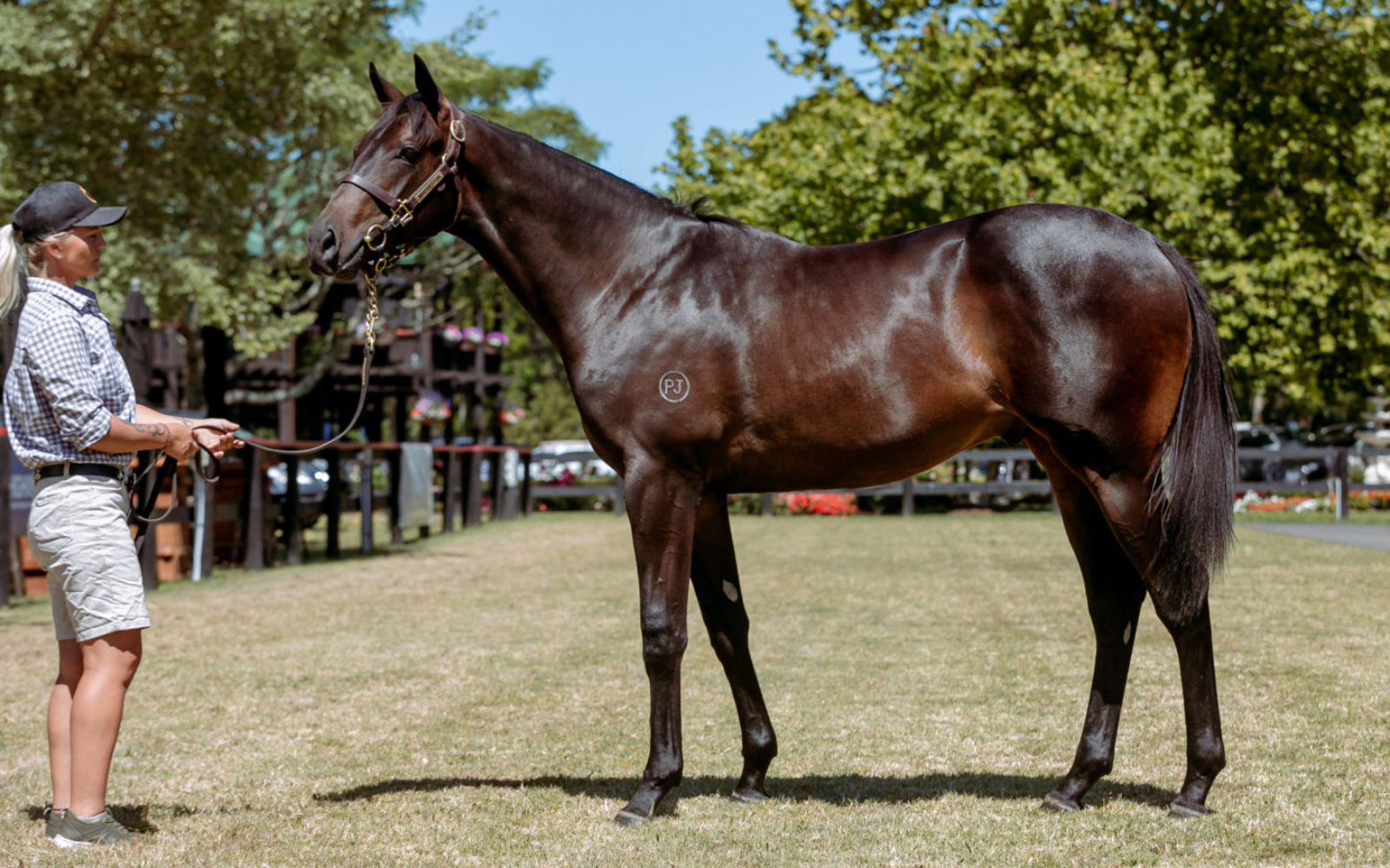 KARAKA – Lot 52 Written Tycoon (AUS) – Pussy O'Reilly (NZ), Brown Colt