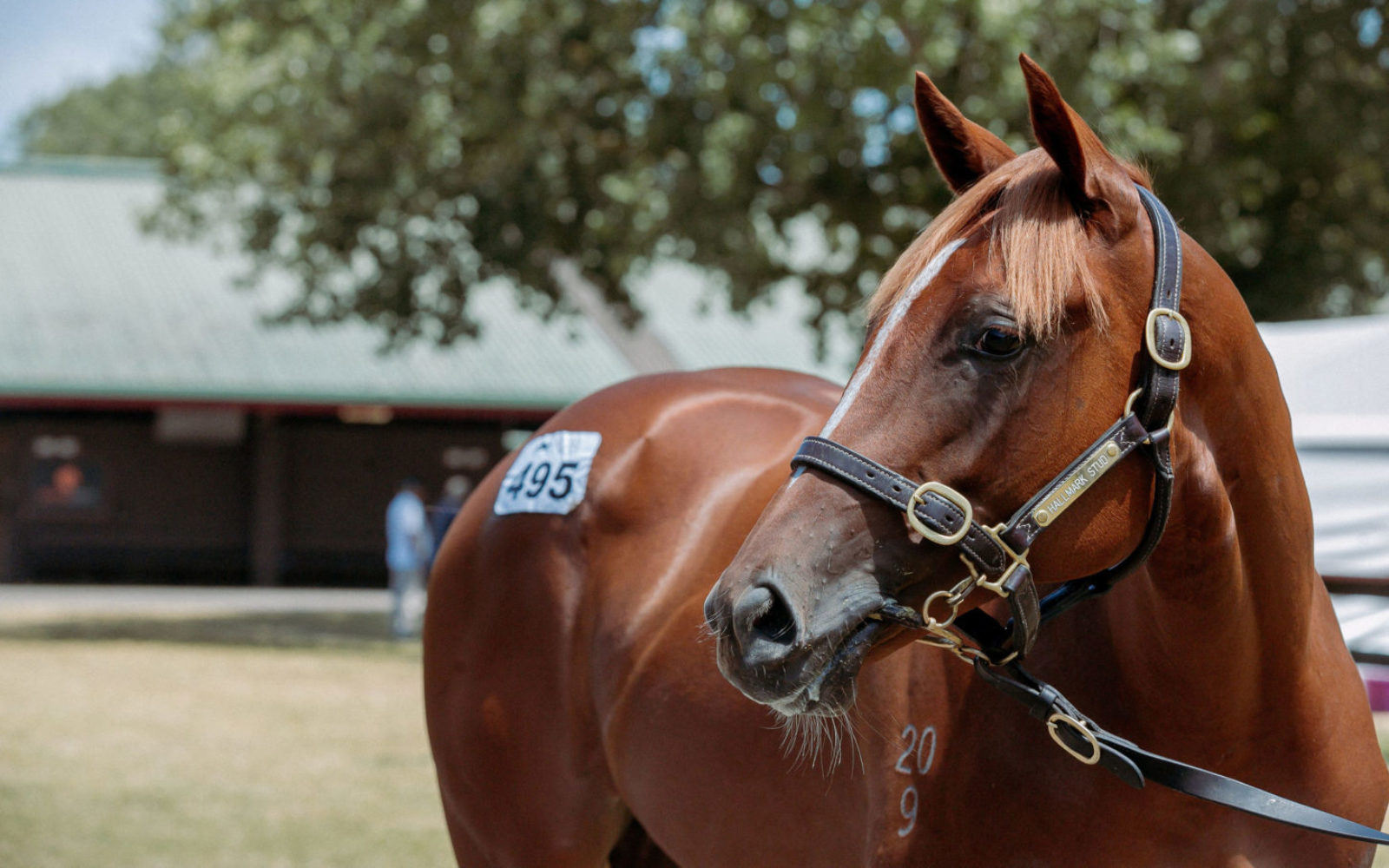 KARAKA – Lot 495 Almanzor (FR) – Lady Royale (NZ), Chestnut Filly