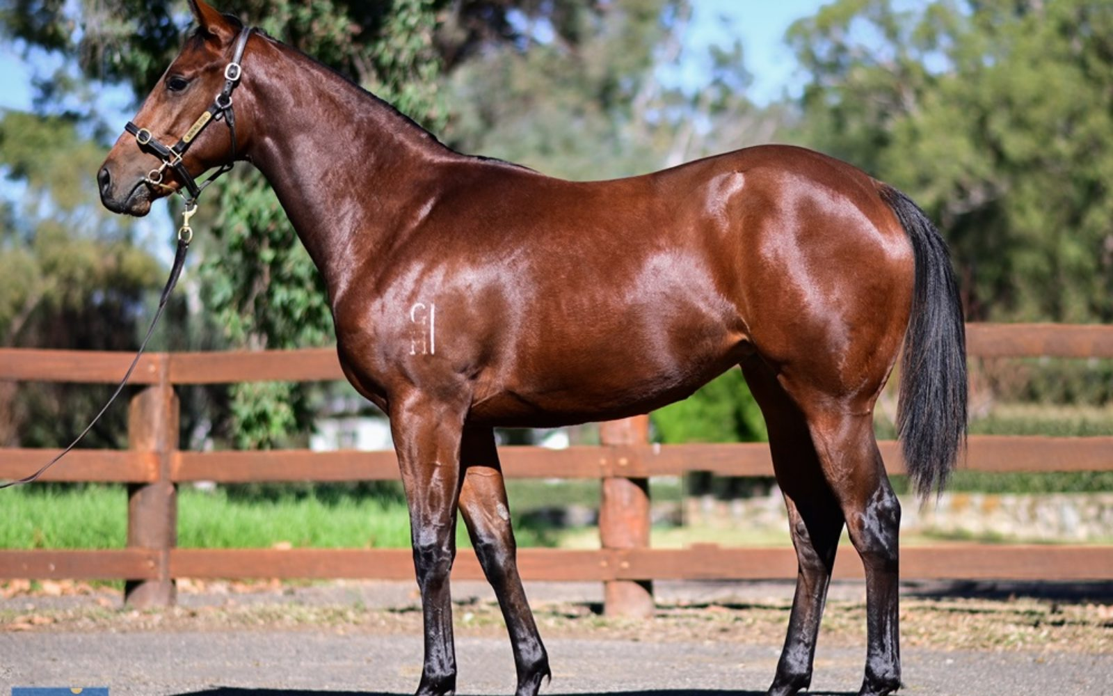 Magic Million Gold Coast Yearling Sale – Lot 1631 Vancouver (AUS) Win the Lottery (AUS) Bay Filly